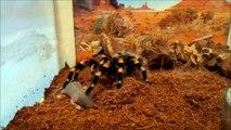 Паук ест мышь (Brachypelma smithi)