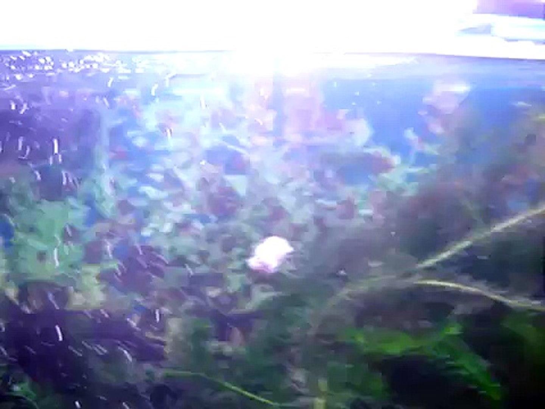 AQUARISMO JUMBO - Acanthodoras spinosissimus e platydoras costatus