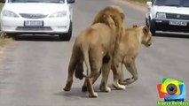 Yolun Ortasında Hunharca Çiftleşen Vahşi Aslanlar