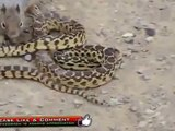 Cobra vs Killer Squirrel Amazing Deadliest Fight | Animal Fight 2015 |