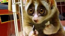 funny video clip, funny animal loris and cat funny