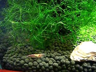 Cherry Shrimps Nursing Tank