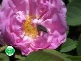 تربية نحل العسل في سلطنة عُمان