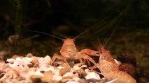 Fische und Garnelen im Aquarium HD