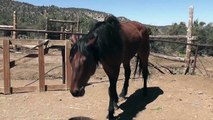 Brown Black Rescue Horse Skinny Eating LARC