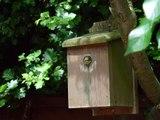 Blåmejse er en sød lille fugl. syngende fugl er Beliggende i en redekasse. Hun har 5 unge