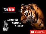 African Animalslion vs tiger fight tiger kills lion lion kills tiger