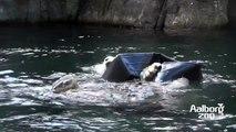 Isbjørnen Malik nyder en tur i baljen/ The polar bear Malik enjoys her new toy
