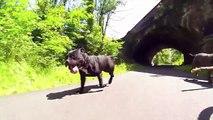 Thor & Freya's Fun Run - Staffordshire Bull Terriers