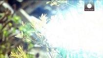 """Korsika: """"Pflanzen-Killer"""" Xylella Fastidiosa breitet sich weiter aus"""