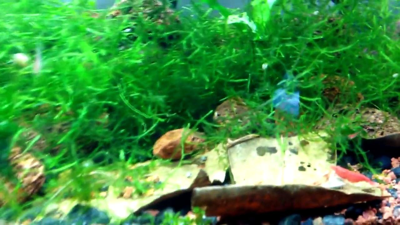 Fry in Shrimp Tank!!