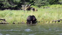 Grizzly Bear Eats Salmon at Muscle Inlet Great Bear Rainforest BC Canada