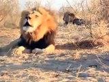LIONS ROAR IN UNISON - BOTSWANA AFRICA LION CHORUS