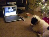 Barking at a Shih Tzu on video