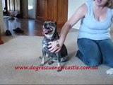 Tiny, Blue Heeler cross dog has been adopted!