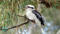 Fun Facts About the Laughing Kookaburra!