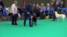 Crufts 2015 Labrador Bitch CC - Loch Mor Guilietta