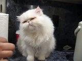 Cute persian kitty hand fed~ fat cat~ white kitty