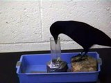 Crow intelligence