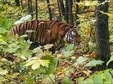 Tiger vs Lion real comparison. Real photos, giant siberian tigers, tiger kills lion.