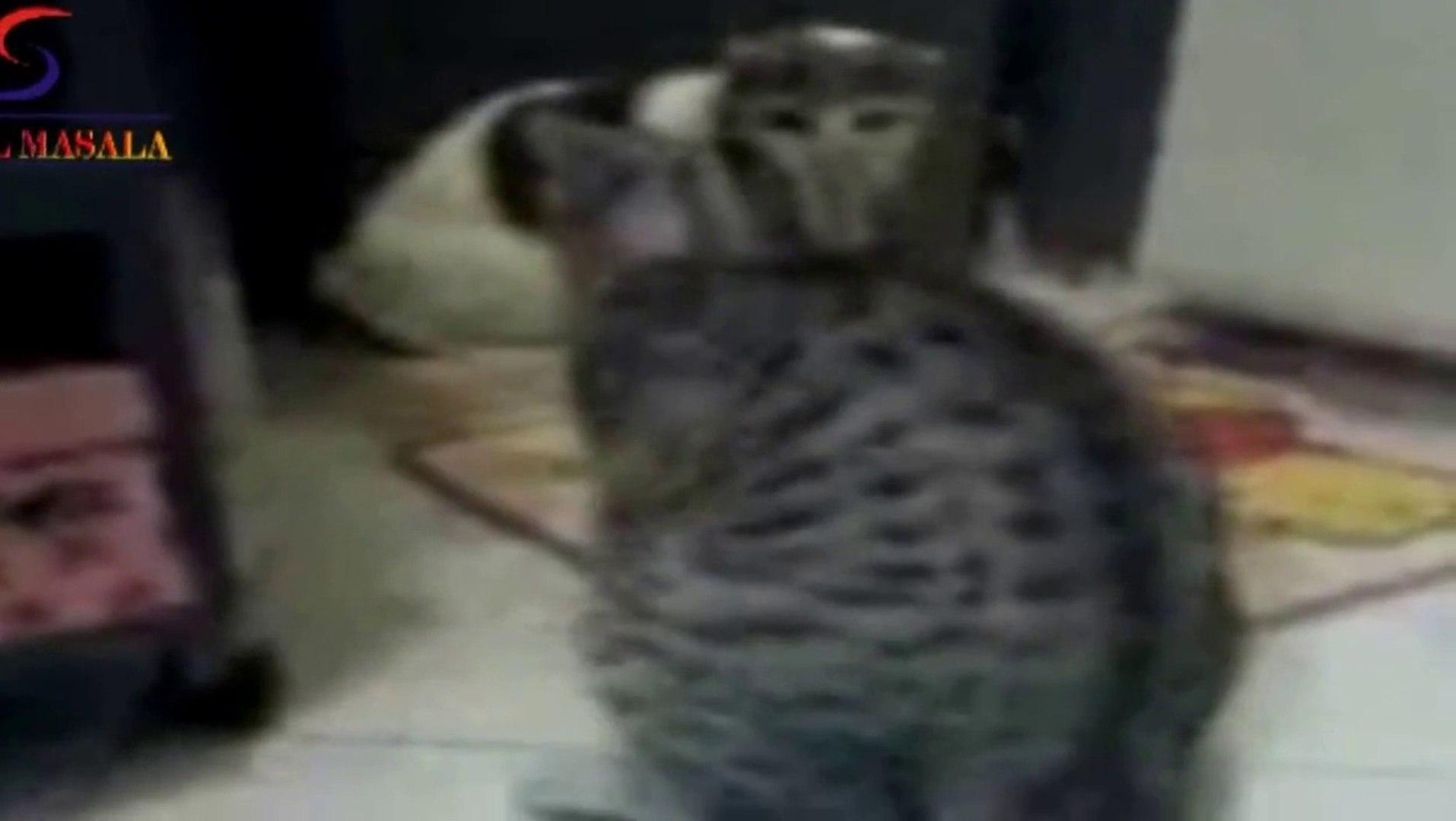 Hot Cat SEX WEIRD! Cat Sex Mating (intercourse) Better Than Humans HD - Must See