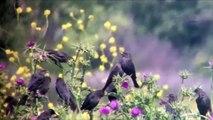 Tricolored Blackbirds at the Merced National Wildlife Refuge - April 2015