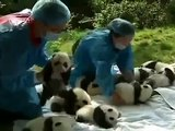 Cute Newborn Pandas! Best Wild Animal Videos 2014