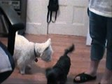 WESTIE I miss you abby WESTIE