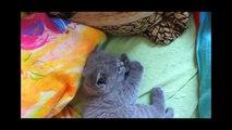 Scottish Fold cat 2010.wmv