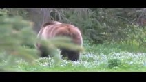 Raw video - 2 grizzly bears charge camera man