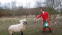 Funny Video - Crazy Sheep Attacking and Scaring People in th