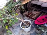 How To Rescue and Replant A Leaning Top Heavy House Plant Ficus Benjamina Weeping Fig Tree