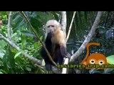 White-faced monkeys in Zancudo Beach, Costa Rica - Mono Cariblanco en Playa Zancudo, Costa Rica