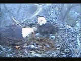 DECORAH EAGLES 4/13/2015   6:33 AM  CDT  MOM FEEDS THEN COVERS UP EAGLETS