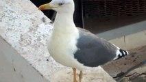 mewa romańska (Larus michahellis), Yellow-legged Gull, Mittelmeermöwe