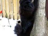 Chow Mikki chasing squirrel