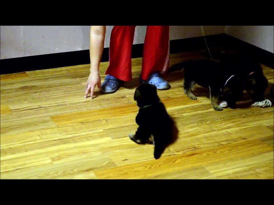 German Shepherd Puppies Playing at 4 weeks old (100% German Lines)