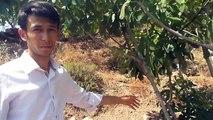 İncir Ağacı Kuruması Ağaç Tazelendi Tire Küçükburun Köyü Mehmet Küçük