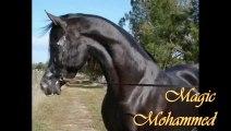 Etalon pur sang arabe noir Magic Mohammed, black arabian stallion
