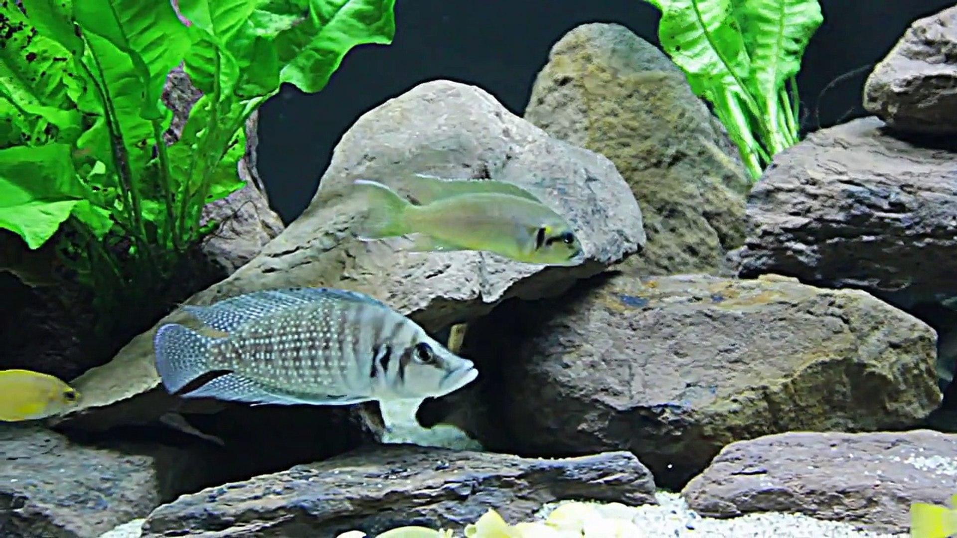 Lake Tanganyika Amazing 1000 litre tank & fish new set up