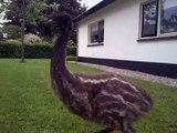 Emu chicks (Dromaius novaehollandiae) 9 weeks old