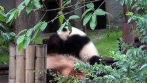 Cucciolo panda gioca con la mamma
