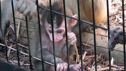 Baby Monkey. ニホンザルの赤ちゃん2014(旭山動物園)③
