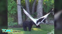 Bears playing on hammock videoed in New Jersey: Bear cubs and mother mess around - TomoNews
