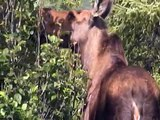 Denali National Park-Alaska (Grizzly Bear, Moose, Caribou, Dall Sheep, Mt. McKinley Summit)