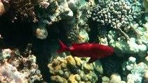 coral reef- Dreams Beach Resort Sharm El Sheikh 5* May 2014