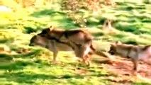 Wölfe Bei Der Paarung - Tiere Bei Der Paarung 2015
