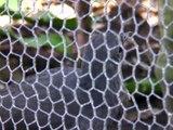 Lyrebird mimics construction sounds