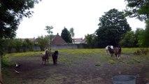 poneys 1  les écuries du dernier recours de wattrelos