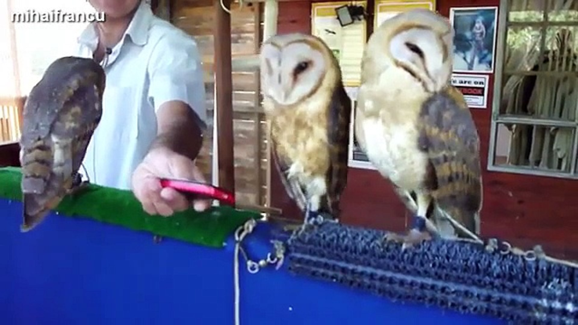 funny and cute owl video